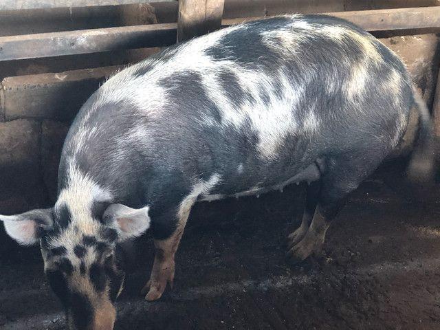Porco caipira gordo - Foto 5