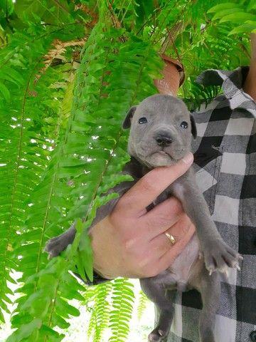 Filhotes saudáveis (mae pit bull ,pai sem raça definida) - Foto 4
