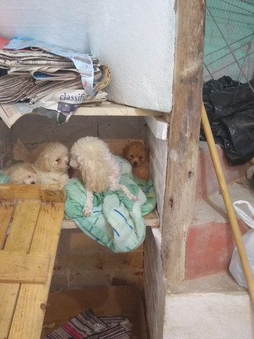 Filhotes de poodle ? casal - Foto 2