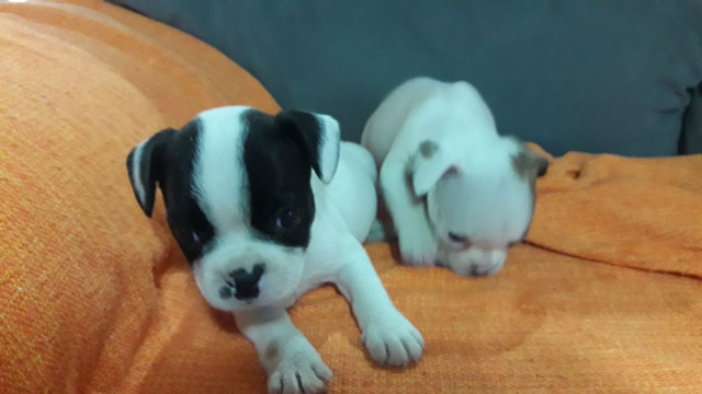 Bulldog Francês - Foto 4