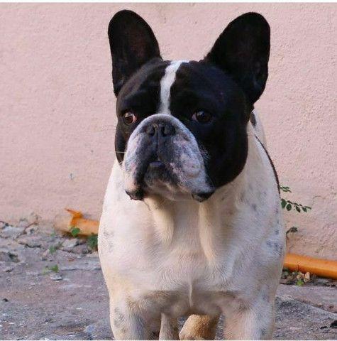 Bulldog Francês COBERTURA - Foto 3