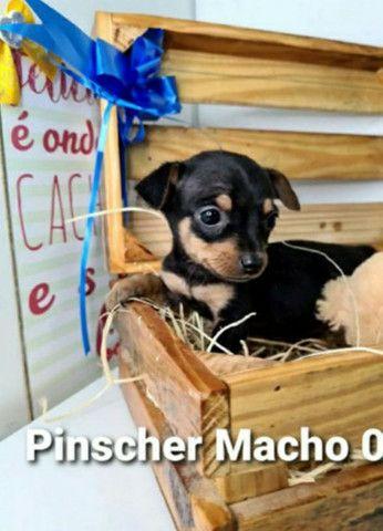 Pinscher esperando por você