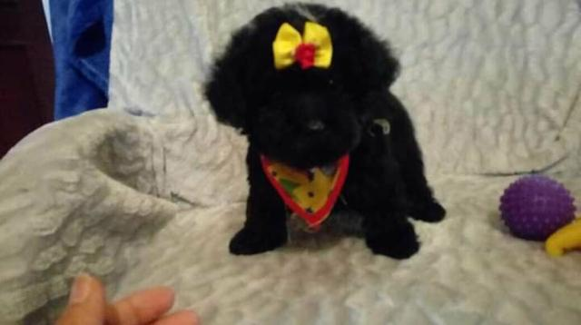 Poodle 00 micro toy