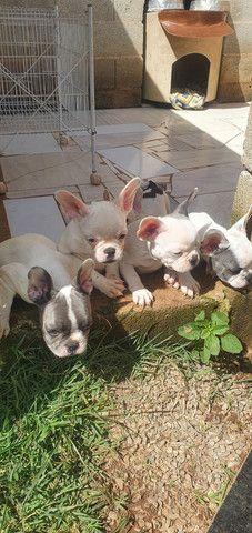 Vendo bulldog francês  - Foto 2