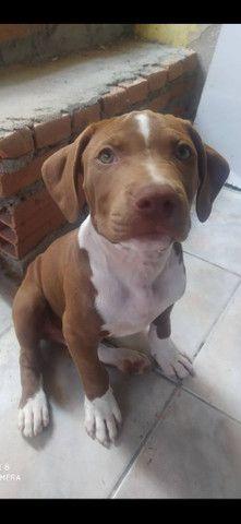 Filhote de Pitbull  - Foto 2