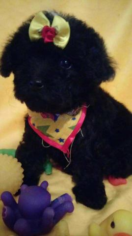 Poodle 00 micro toy - Foto 2