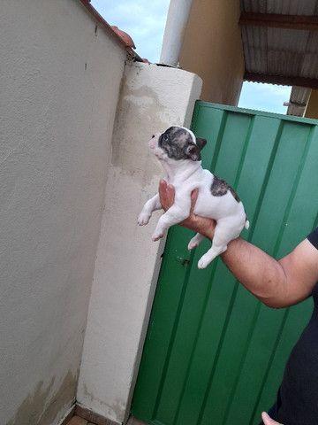 Bulldog Francês com 37 dias vermifugados - Foto 4