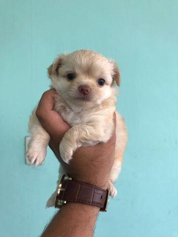 Chihuahua pronta entrega - diversas colorações da raça 11.9.4064.9984