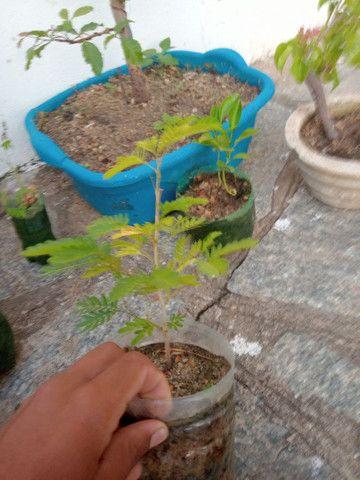 Vendo 2 muda de caliandra - Foto 4