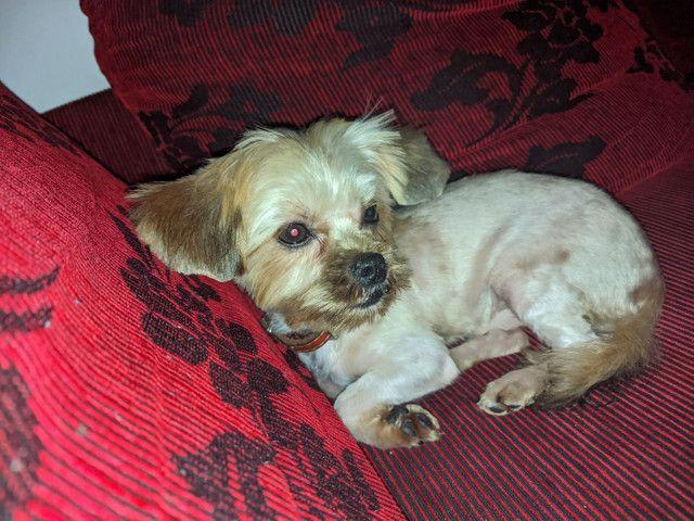 Yorkshire terrier - Foto 3