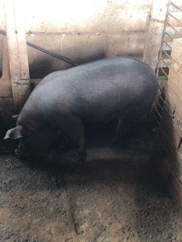 Porco caipira gordo
