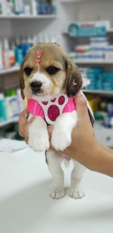 Beagle Femea Tricolor Vacinada