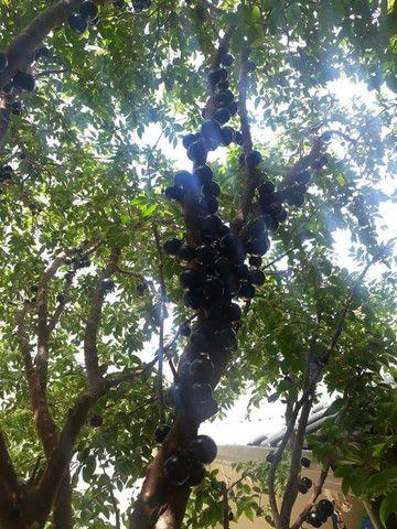 Jabuticabeira nativa produzindo
