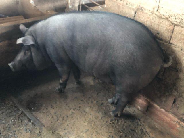 Porco caipira gordo - Foto 4