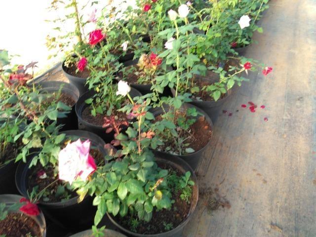 Rosas em vasos vendo - Foto 3