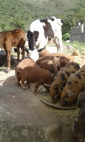 Leitoa caipira leitao macho femea porco - Foto 2