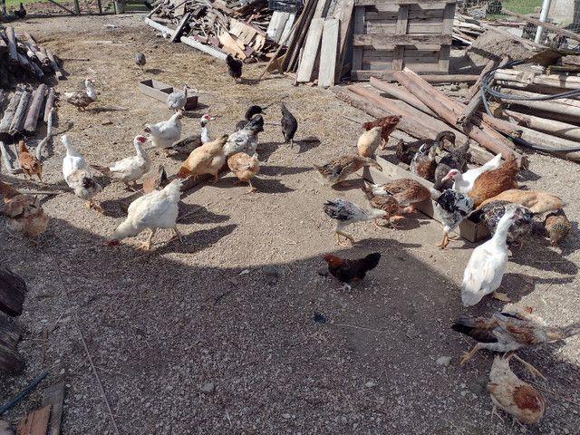 Vende-se galinha e pato  - Foto 3