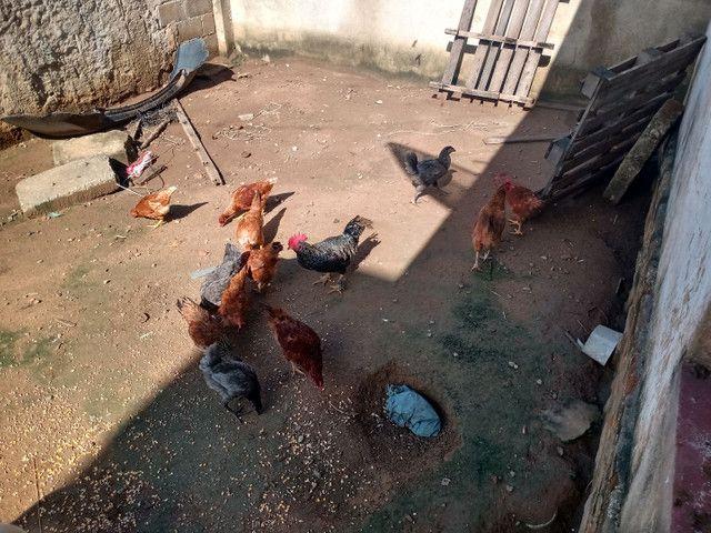 Vendo galinhas novas - Foto 2