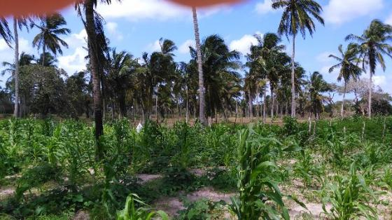 Fazenda em Itarema 386 hectares plantados de cajueiros,lagoa,poço,rio na extrema - Foto 4