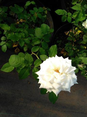 Rosas em vasos vendo - Foto 5