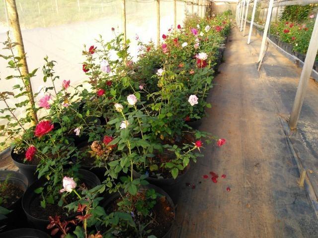 Rosas em vasos vendo - Foto 2