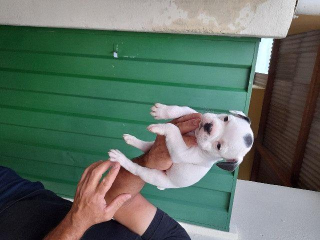 Bulldog Francês com 37 dias vermifugados - Foto 5