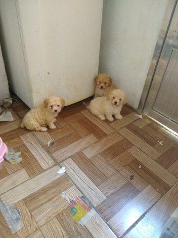 Filhotes de poodle ? casal