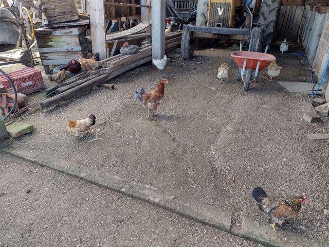 Vende-se galinha e pato  - Foto 4