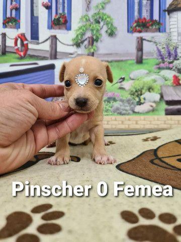 Pinscher entregamos na sua casa hoje ligue já