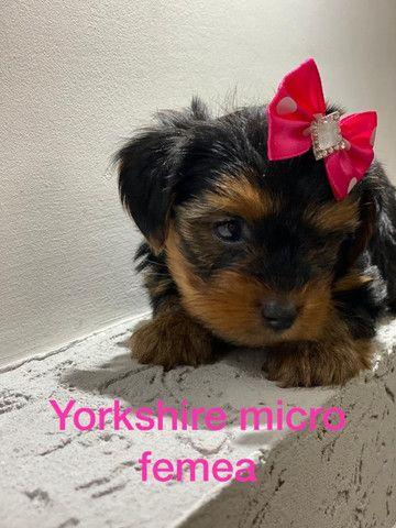 Yorkshire Terrier micro Fêmea parcelamos em ate 10x sem juros