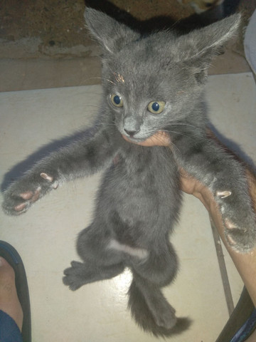 Filhote de gato fêmea raça Chartreux - Foto 2