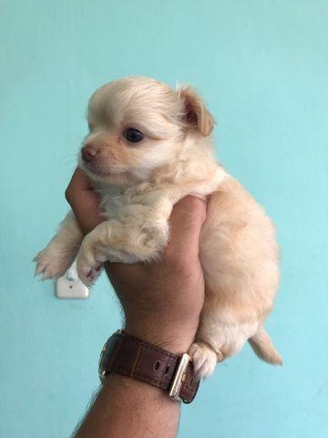 Chihuahua pronta entrega - diversas colorações da raça 11.9.4064.9984 - Foto 2