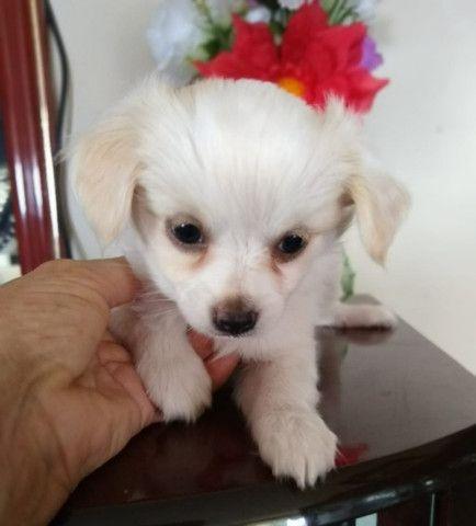 Chihuahua Fêmea Pelo longo