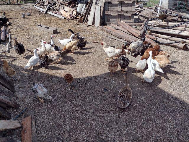 Vende-se galinha e pato  - Foto 2