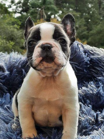 Bulldog Francês, quaisquer cores da raça!