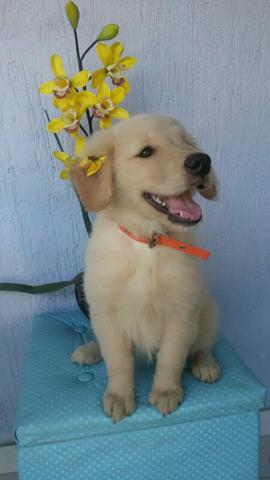 Golden Retriever fêmea com 70 dias