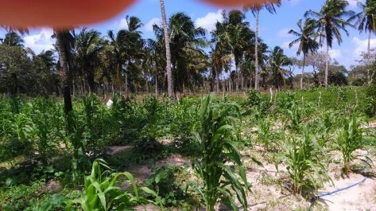 Fazenda em Itarema 386 hectares plantados de cajueiros,lagoa,poço,rio na extrema - Foto 3