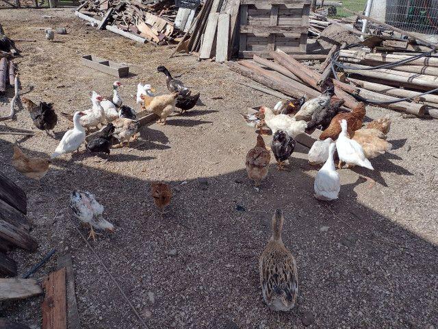 Vende-se galinha e pato