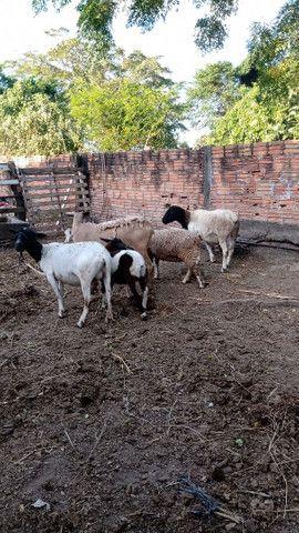 Ovelhas fêmeas 599 cada
