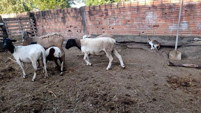 Ovelhas fêmeas 599 cada - Foto 2