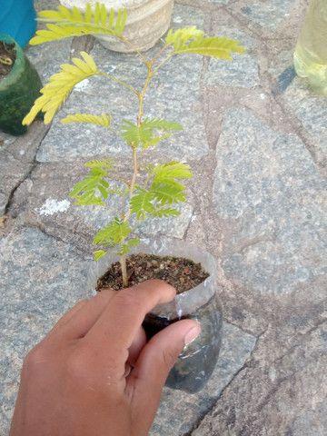 Vendo 2 muda de caliandra - Foto 3