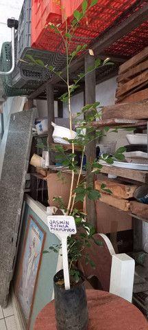 Planta jasmim - Foto 2