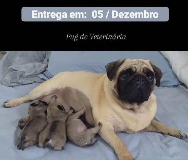 Pug - Filhotes de Veterinária - Foto 2