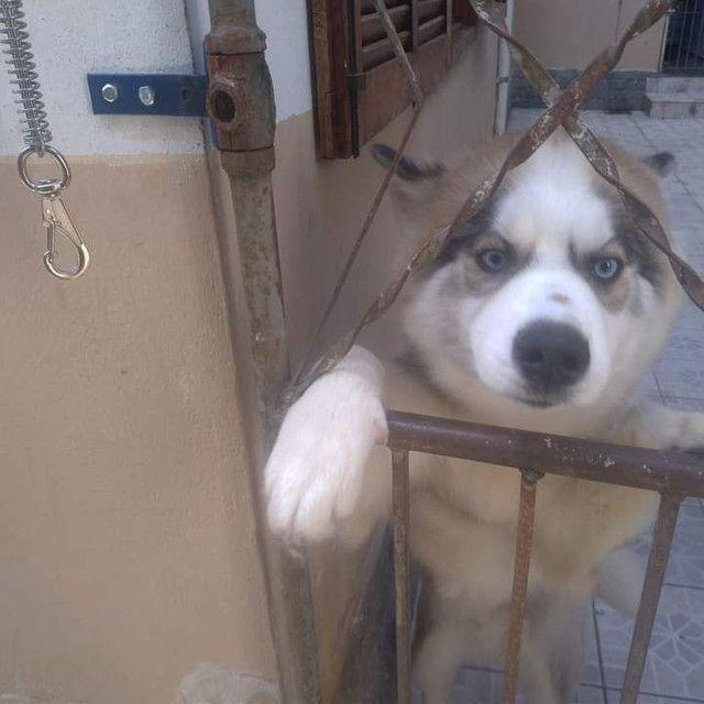 Procuro Namorada para Husky Siberiano - Foto 2