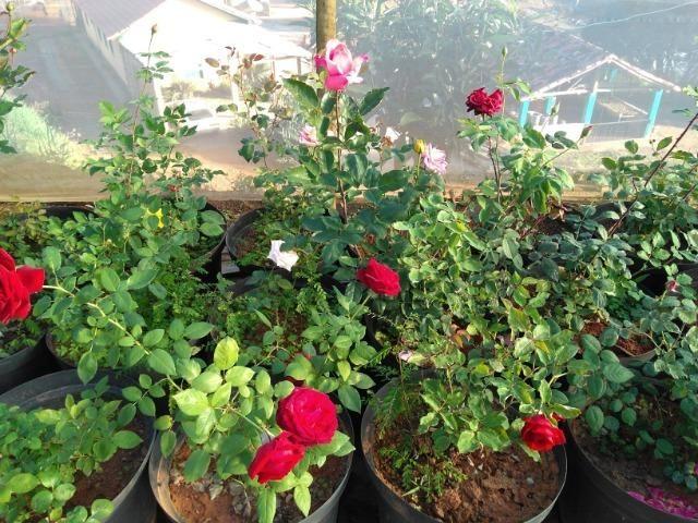 Rosas em vasos vendo - Foto 4