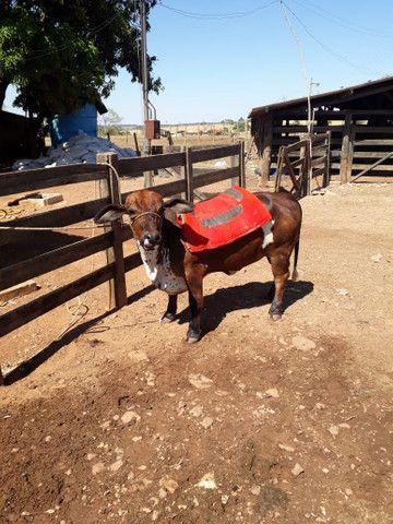 Mine vaca e mine boi a venda  - Foto 2