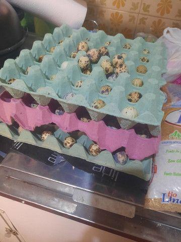 Vendo filhotes de codorna e ovos - Foto 3