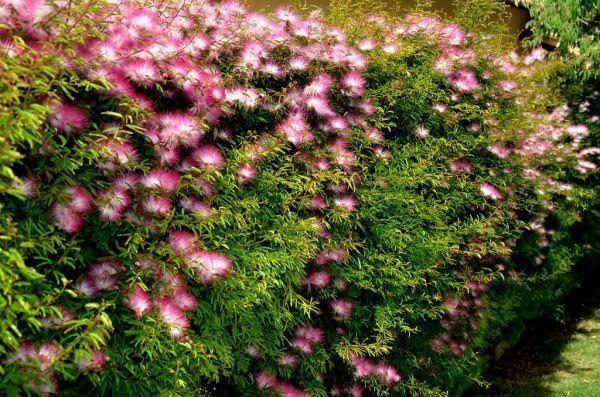 Vendo 2 muda de caliandra - Foto 2