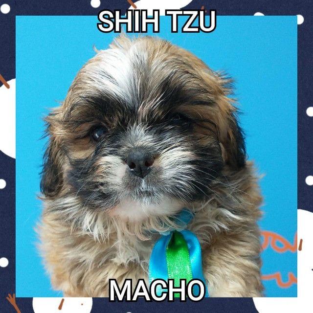 Shihtzu macho na promoção venha conferir - Foto 3