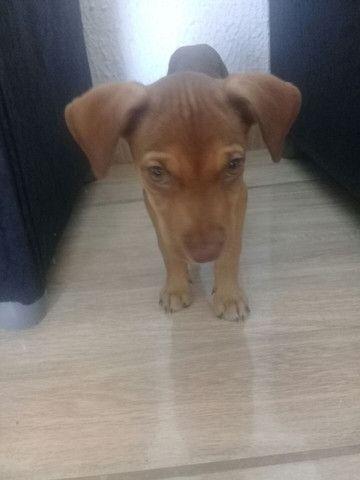 Cachorro pitbul com vira lata - Foto 3